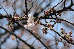 桜-染井吉野 #sakura