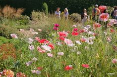 Poppies in the dry garden