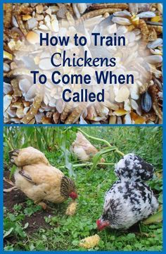 How to Train Chickens to Come When Called (and Why You Should)