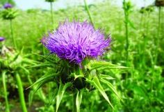 Milk Thistle is a herbaceous annual or biennial plant with a dense-prickly flower head and reddish-purple tubular flowers. Home Remedies, Natural Remedies, Biennial Plants, Herbs For Health, Milk Thistle, Natural Herbs, Healing Herbs, Herbal Medicine, Gaia