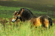 Wild Exmoor ponies from Exmoor National Park in Devon, United Kingdom