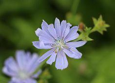 chicory,flower,lightblue,wild,drink,nature,health,substitute