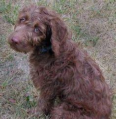 I want one sooo bad! Brown Labradoodle, Chocolate Labradoodle, Australian Labradoodle, Pet Dogs, Pets, Dog Pin, Puppies, Labradoodles, Sweet