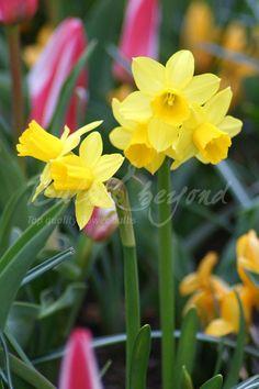 Daffodil - Tête à Tête