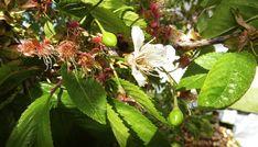 Jak a kdy řezat třešeň Outdoor Gardens, Plants, Plant, Planets