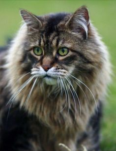 Welcome To Maine Coon Cat Nation #meow - Find out at - Catsincare.com!
