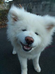 Smiling Akita inu, Japanese Dog-I wanna smooch that face!❤❤❤❤