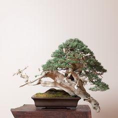 Rocky Mountain Juniper No.15 | Bonsai Mirai