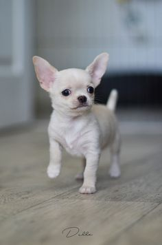 227 Best White Chihuahua Images