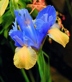 Blue & Yellow Iris