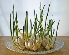 13 Vegetables That You Can Regrow Again And Again --> Garlic