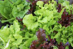 7 видов салата для вашего сада. Лучшие сорта. Посев, выращивание и уход. Описание, фото - Ботаничка.ru - Страница 6