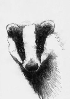 Lots of badger activity around the village, I'm pleased to say © Animal Paintings, Animal Drawings, Badger Images, Badger Illustration, Animal Art Projects, Newspaper Art, Nature Sketch, Sketch A Day, Wildlife Art
