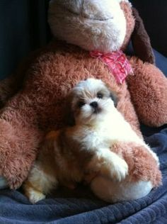 Female Shih Tzu puppy