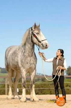 In 1981 Nordram was in the Guiness Book of World Records as the tallest living horse, standing 19.2 hands.  He is a purebred shire gelding and is now owned by Jane Greenman of Victoria, Australia. beautiful-horses