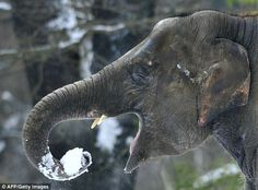 images elephants mouth | DELICIOUS! An elephant slips a snowball into his mouth as forecasters ...