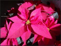 A very hard colour to catch through the eye of a camera, RED. Finally, I could catch a Poinsettia (Christmas Flower. Nochebuena, in Mexico), that naturally glows. Hopefully I will get a better photo of this flower in the near future. ;) **