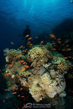 En Mer Rouge, les anthias virevoltent au-dessus des massifs de coraux, et offrent un spectacle sous-marin unique ! Marine Environment, Spectacle, Science, Unique, Painting, Art, Navy Life, Red Sea, Corals