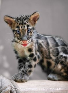 Clouded Leopard. This species can be found in countries of the Himalayas, southern China, and Taiwan to peninsula Malaysia.