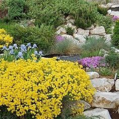 Alyssum Mountain Gold Flower Seeds (Montanum Mountain Gold) 200+Seeds - Under The Sun Seeds  - 1