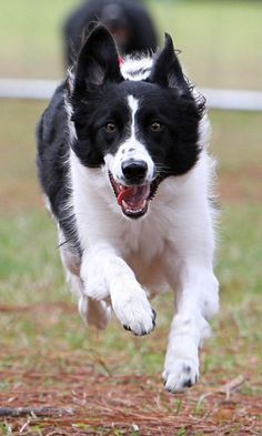 Roxy going to the house  Border collie