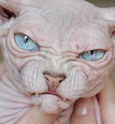 Супер Мамочки • Просмотр темы - Канадский Сфинкс. Кошка рожденная ...