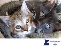 ¿Alguna vez te has preguntado por qué los gatos pueden pasar por casi cada lugar? En CLÍNICA VETERINARIA DEL BOSQUE. Esto es muy fácil de explicar, los gatos tienen 230 huesos en el cuerpo, a diferencia de una persona que tiene 206 y además por su fisonomía, los gatos tienen clavícula por eso caben por cualquier lugar que sea del tamaño de su cabeza. En Clínica Veterinaria del Bosque contamos con médicos veterinarios especialistas para atender a tu mascota.  #cuidadodemascotas
