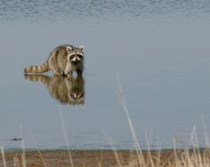 Gone Fishin by Misty Dawn Seidel (Misty DawnS Photography) Misty Dawn, Miss You Mom, Walk On Water, Animal Masks, Hanging Out, Woodland, Wildlife, Raccoons, Easy Storage