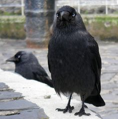 Jackdaws. I love this picture