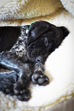 Sleepy 12 week old Sage  #GSP #Germanshorthairedpointer #GSPpuppy