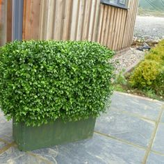 Bespoke made Buxus (Boxwood) hedge