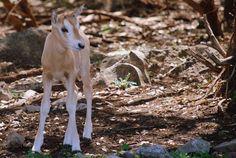 Baby pronghorn, Texas