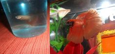 Look at the change that proper care can bring! This is the same fish, rescued from bad conditions and dirty water.. After just a few months of being in a warm, heated fish tank with clean water...look at the transformation! :) Give your betta what he needs to thrive and he will reward you with beautiful fins and a wonderful personality!