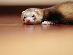 When a ferret lies down flat out on the floor, it can be a sign that they are not feeling well. If you notice this behaviour, you should take your ferret to a vet who is knowledgeable about ferret care.