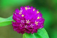 Common Globe Amaranth (Gomphrena Globosa)  http://www.sagebud.com/common-globe-amaranth-gomphrena-globosa/