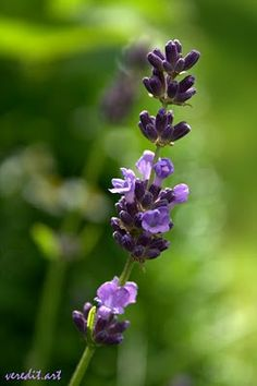 veredit-iertes: und der Duft von Lavendel