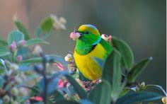 Golden-browed Chlorophonia by Steve Blain