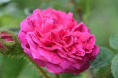 Lo sciroppo di rose,