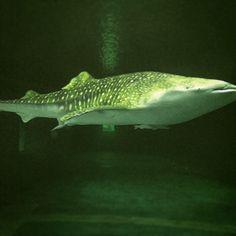 ジンベイザメ  Whale shark