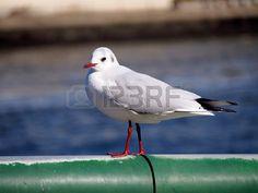 Black-headed Gull | ユリカモメ