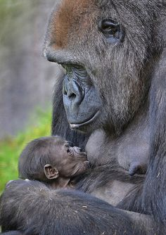 A two week old gorilla feeds on her mother Imani at the San Diego Zoo Safari Park. The baby girl was recently reunited with her mom after a Cesarean delivery Amor Animal, Animal 2, Mundo Animal, Primates, Mammals, Cute Baby Animals, Animals And Pets, Funny Animals, Les Innocents