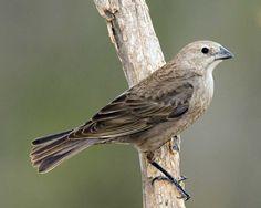 Brown-headed Cowbird   Audubon Field Guide