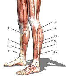 muscle anatomy | Author Dr. Rene Schumann