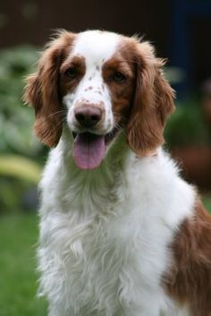 Tess the Welsh Springer Spaniel Puppies And Kitties, Doggies, I Love Dogs, Cute Dogs, Welsh Springer Spaniel, Dog Breeds List, Most Beautiful Dogs, Horses And Dogs, Tabata