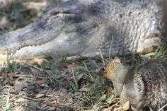 🌐 Get this free picture squirrel aligator animals     🆗 https://avopix.com/photo/23128-squirrel-aligator-animals    #squirrel #fox squirrel #aligator #animals #rodent #avopix #free #photos #public #domain