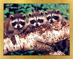 Impact Posters Gallery Wall Decor Three Raccoons Sitting On The Tree Wildlife Animal Kids Room Picture Art Print Frame Wall Decor, Frames On Wall, Framed Wall Art, Wall Decor Pictures, Print Pictures, Pet Raccoon, Poster Prints, Art Prints, Wall Posters