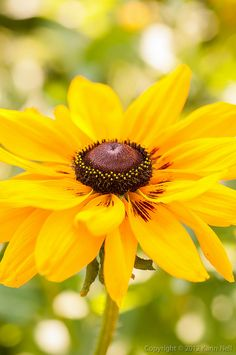 Rudbeckia (Black-eyed Susan) - Reminds me of beautiful summer days when I was a child.