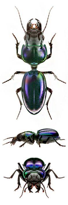 Carenum virolaceum - CARABIDAE; Scaritinae