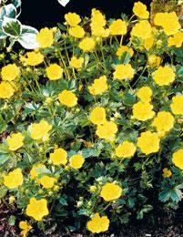 Rönsyansikka Waldsteinia temata Rönsyansikka on puutarhan käyttökelpoisimpia kasveja. Se muodostaa maanpäällisten rönsyjensä avulla tiheitä ikivihreitä kasvustoja ja se sopii peittokasviksi puiden ja pensaiden alle sekä reunus- ja kivikkokasviksi. Rönsyansikka viihtyy parhaiten puolivarjossa tai varjossa, mutta menestyy myös aurinkoisella paikalla. Se kasvaa 15-20 cm korkeaksi ja kukkii keltaisin kukin touko-kesäkuussa. Talvenkestoltaan rönsyansikka on erittäin kestävä.