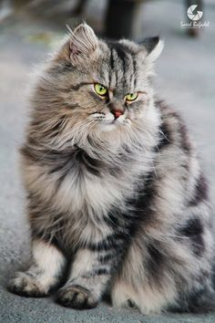 Handsome longhaired silver tabby cat